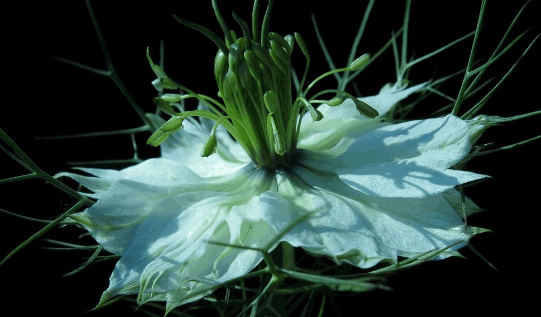 Effecten van zwarte komijnzaad bij de auto-immuunziekte Hashimoto